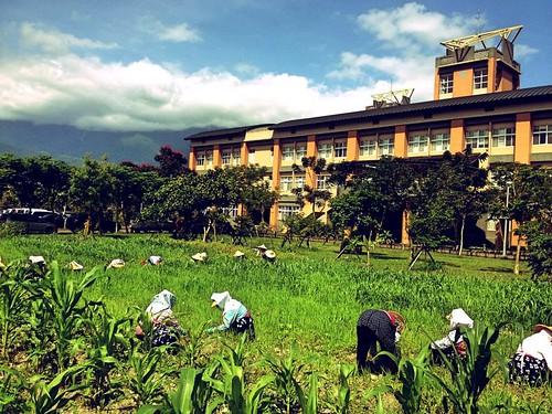 東華小米園強調務實的彎腰耕種。2013年小米耕種。(圖片來源:葉秀燕提供)