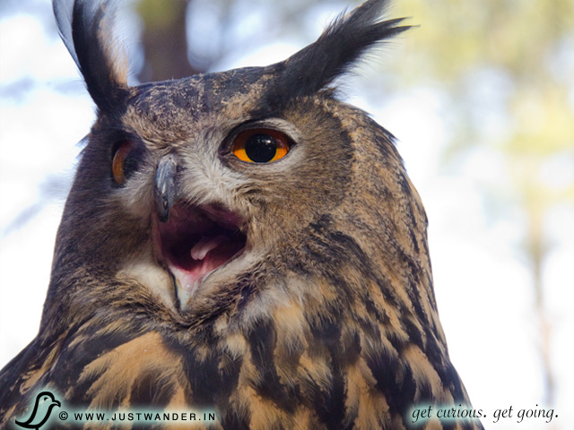 PIC: Bearizona's European Eagle Owl
