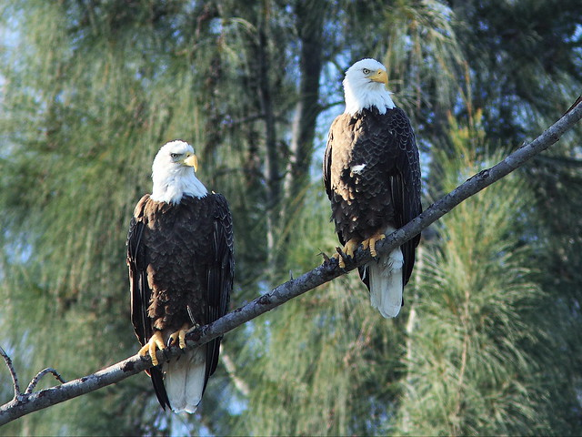 Bald Eagle female and male 2-20131118