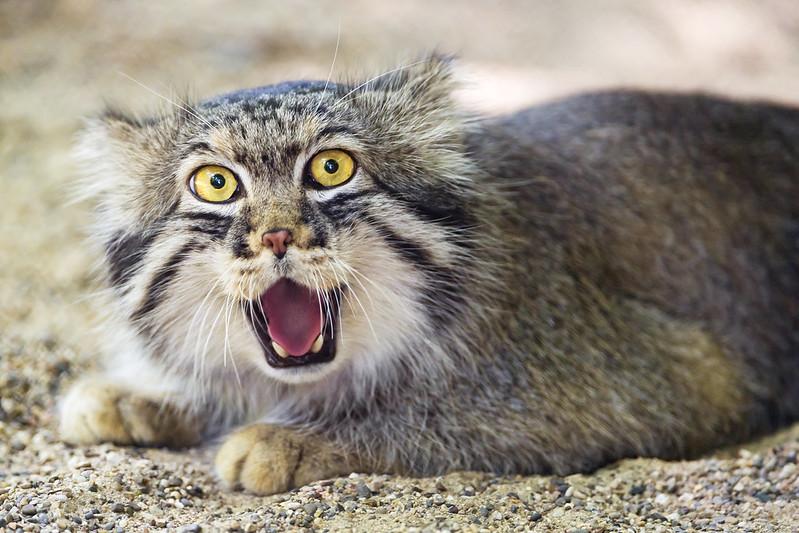 Pallas cat looking dumb!