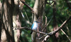 WHITE COLLARED KINGFISHER