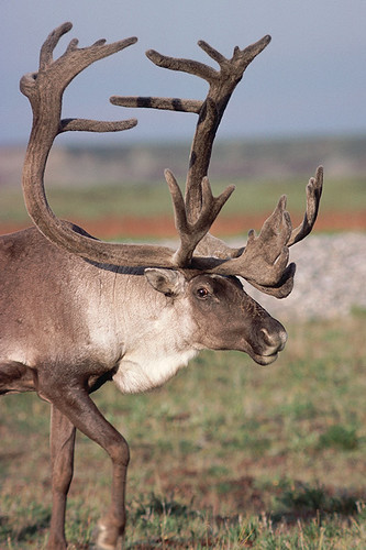 Wildlife in British Columbia, Canada: Caribou / Reindeer
