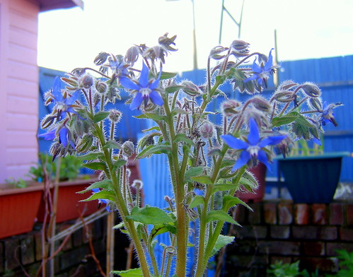 borage flowering in january
