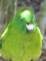 animal, lovebird, parrot, pet, green, fauna, parakeet, lorikeet, common pet parakeet, beak, bird,