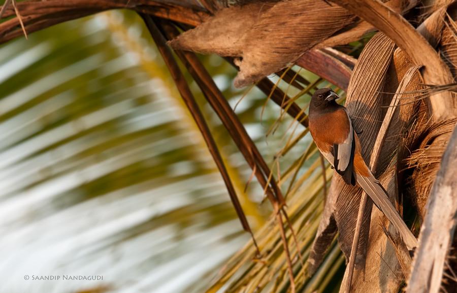 Rufous-Treepie