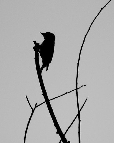 Downy Woodpecker Silhouette