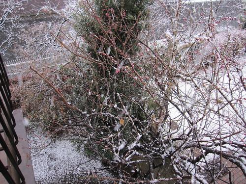 梅の蕾も凍えています  2014.2.4 by Poran111