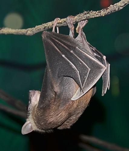 mammal zoo texas bat hanging brownsville gladysporterzoo carolliaperspicillata shorttailedfruitbat nikond7000 nikkor18to200mmvrlens webbedwings