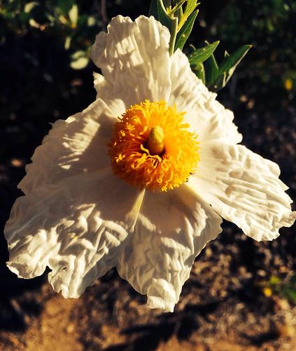 matilija poppy