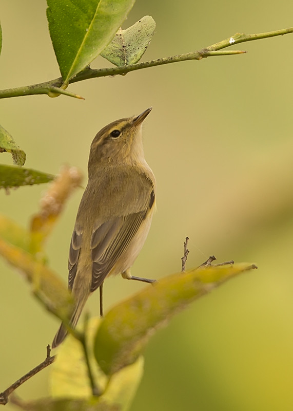 Melodious Warbler   Gambia
