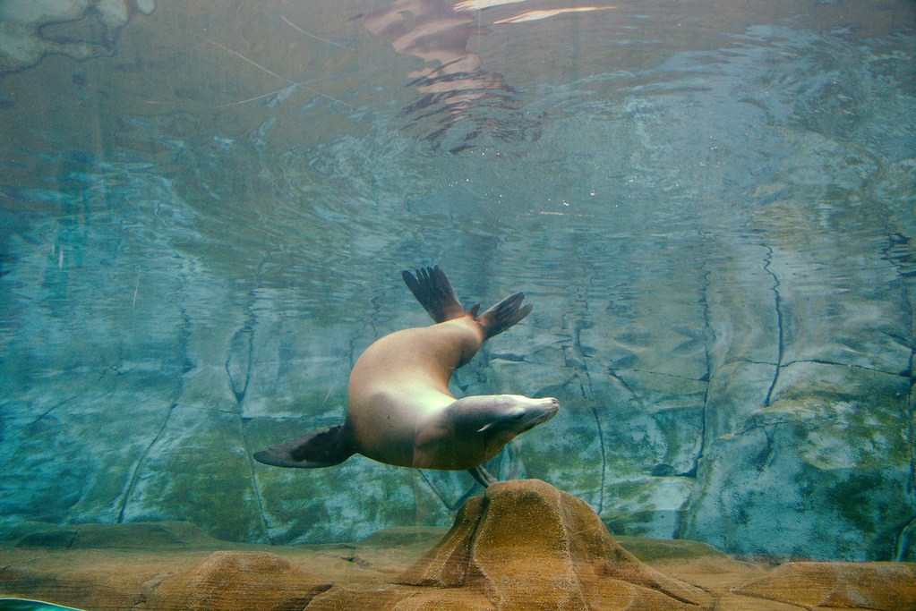 California Sea Lion (Zalophus californianus)_3