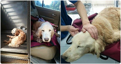 「助認養」桃園從竹北收容所救出無良棄養癱瘓的黃金獵犬小姐~需要醫療資源助認養可抵稅~謝謝您!201502