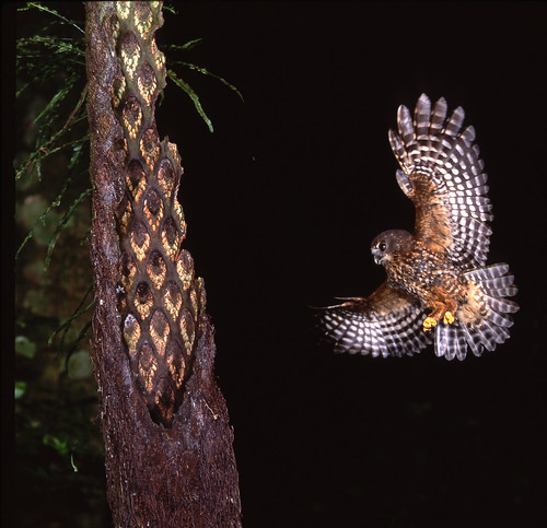 Morepork captured in flight.