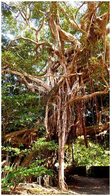 SALVADOR DALI meets BANYAN TREE meets JUNGLE-GYM