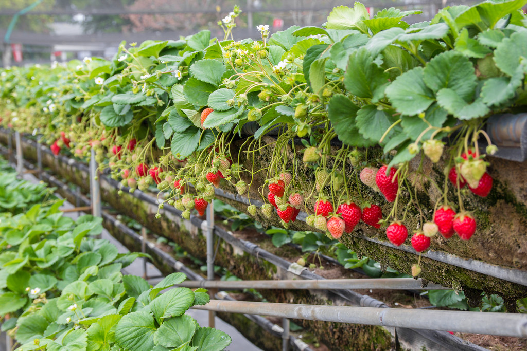美裕草莓園