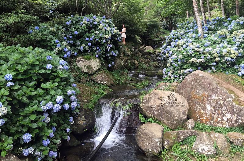 繡球花 (12)