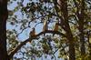 015 kookaburras, Finch Hatton, Queensland