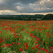 Poppies on Mid Summers Eve by Damian_Ward