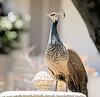 P52 26-52 Female Peacock