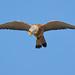 Falco naumanni - Cernícalo primilla - Peneireiro-das-torres - Faucon crécerellette - Grillaio - Lesser Kestrel - Rötelfalke by Agustín Povedano