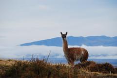 alpaca(1.0), animal(1.0), prairie(1.0), nature(1.0), mammal(1.0), llama(1.0), fauna(1.0), vicuã±a(1.0), guanaco(1.0), wildlife(1.0),