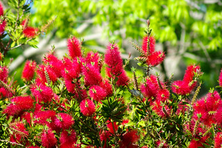 Bottlebrush, the Roost