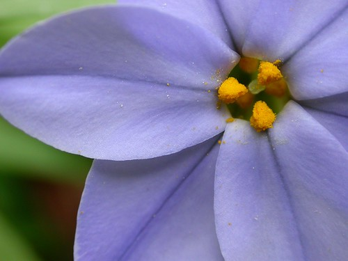 Ipheion (starflower)  macro