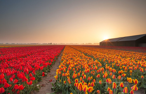 Tulips fields at sunrise by Nathalie Stravers