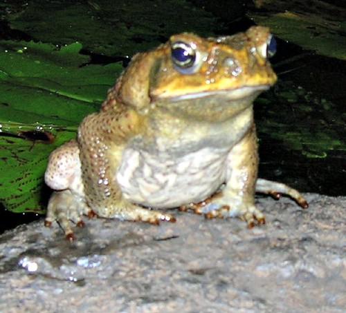 frog_maui.jpg