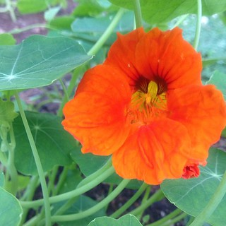 June 7 : my first #bright #nasturtium bloom after the rain! #flowers #fmsphotoaday #nature
