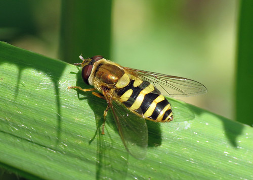 Hoverfly - Syrphus sp.