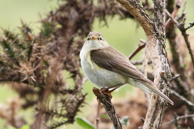 Willow Warbler chick