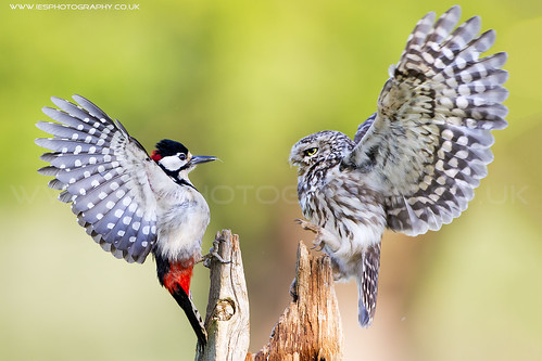 Little Owl and Great Spotted Woodpecker Fight