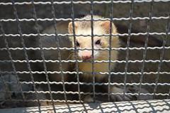 苗栗咬傷民眾的雪貂非台灣野生該看見的動物,疑似遭人棄養。家畜所證實,該個體未染狂犬病,是狂犬病疫情下的犧牲者。(圖片來源:家畜衛生試驗所)