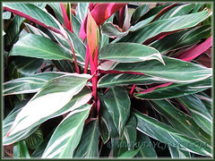 Another image of Stromanthe sanguinea 'Stripestar', seen at a garden nursery nearby in Dec 9 2011