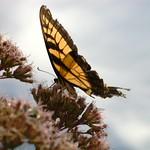 Swallowtail, Sky, Joe Pye Weed