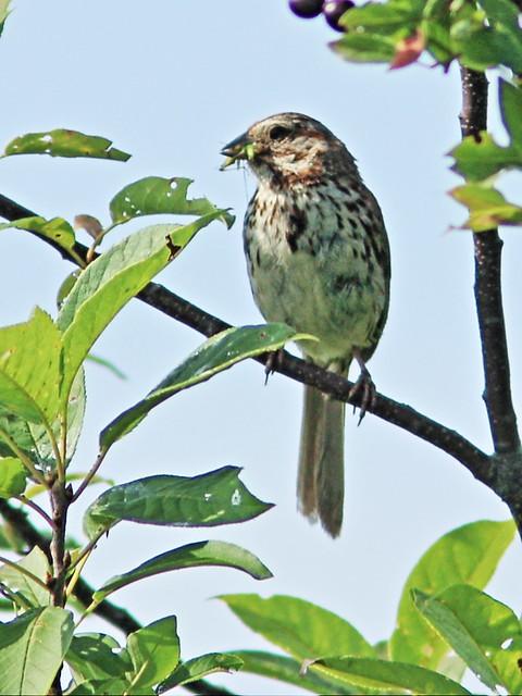 Song Sparrow 20130812