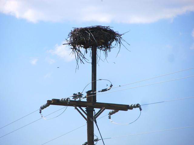 huge osprey nest