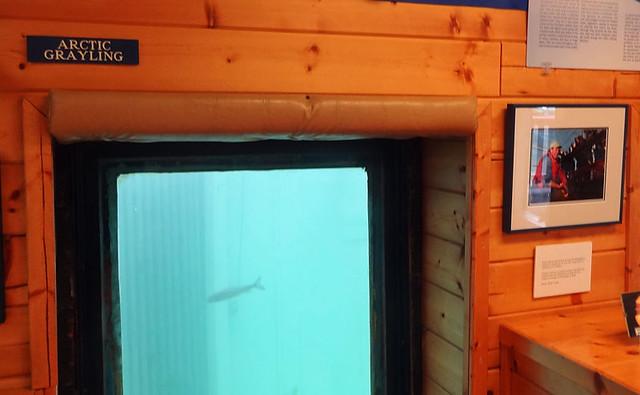 whitehorse-fish-ladder viewing window