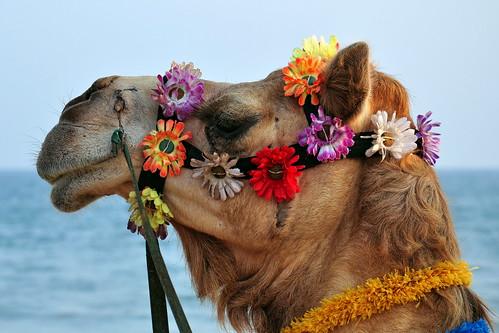 India - Odisha - Puri - Beach - Camel - 01