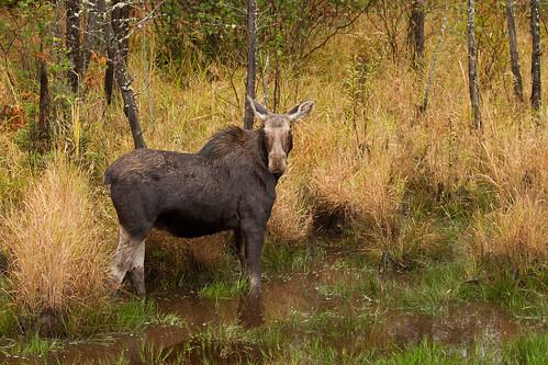 Not 'amoosed', Moose, Algonquin Park, Canada