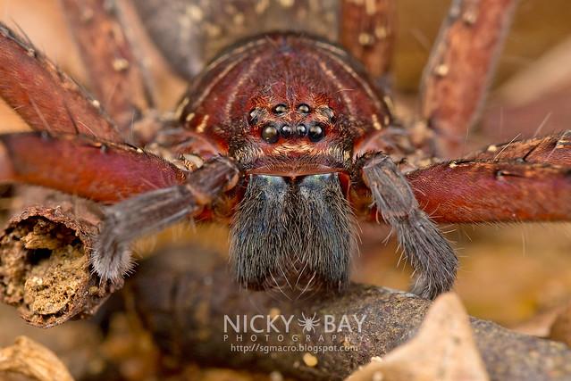 Huntsman Spider (Sparassidae) - DSC_7654