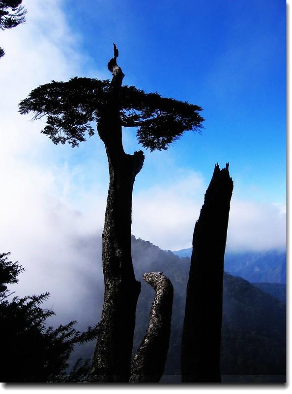 關山鐵杉 2