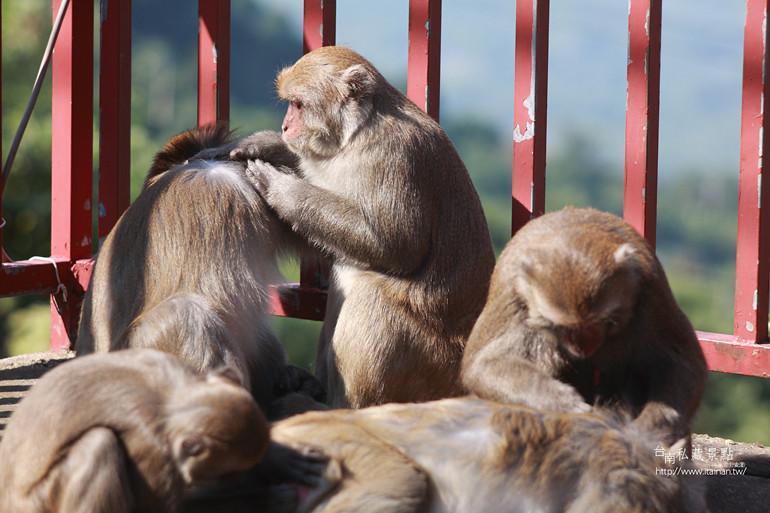 台南私藏景點-南化烏山獼猴 (13)