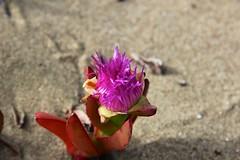 California coast wildflower