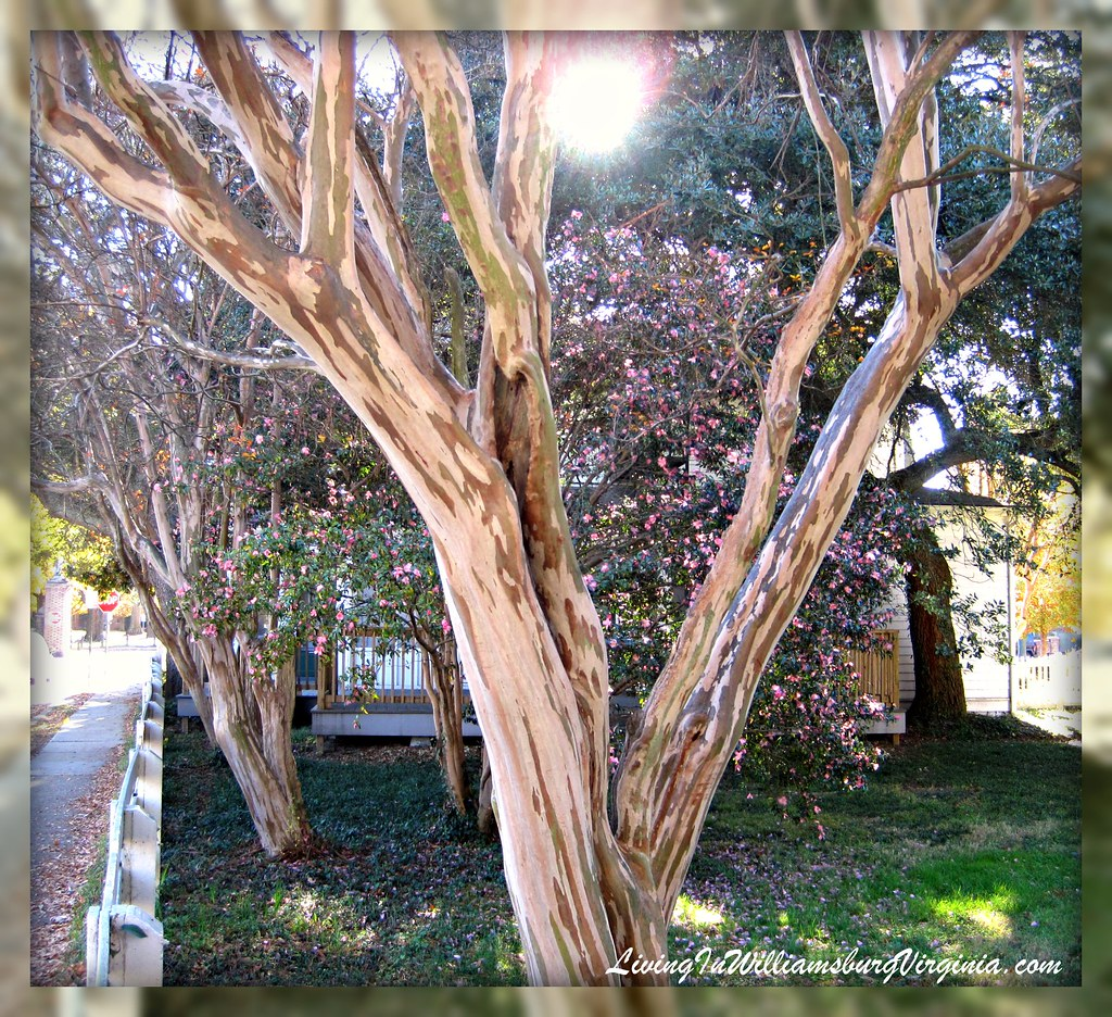 crepe myrtles in winter
