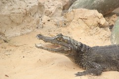 animal, crocodile, reptile, nile crocodile, fauna, american alligator, crocodilia,