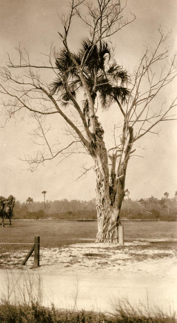 Strangler fig at work in Everglades City, Florida