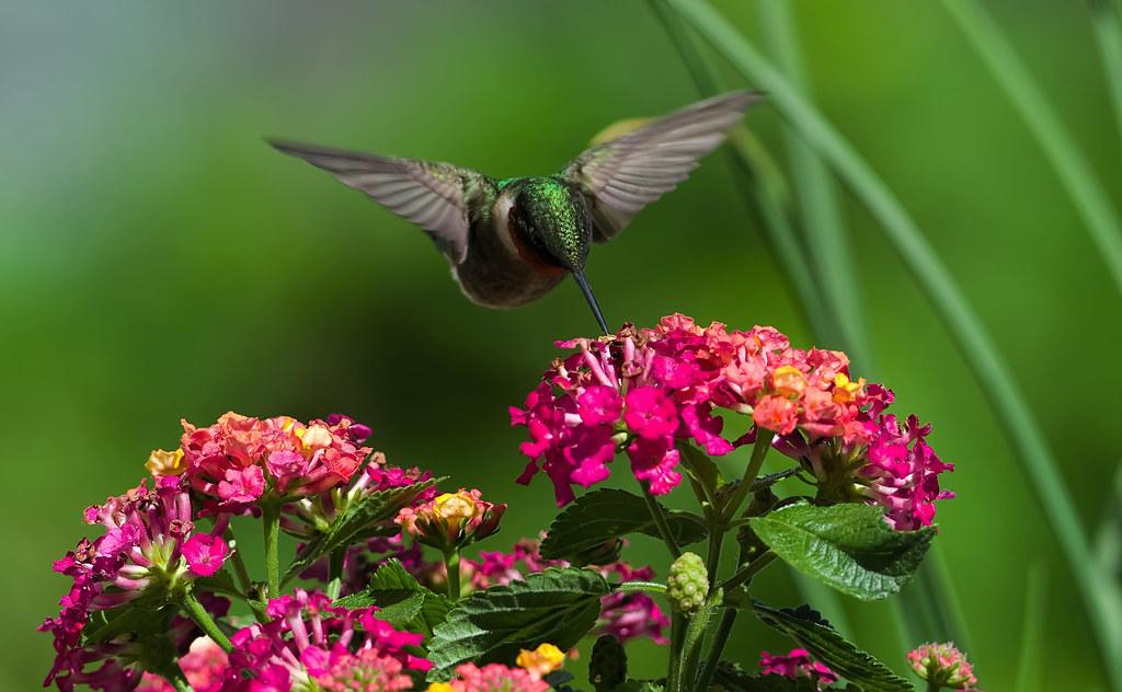 Hummingbird and Lantana_DSC2480