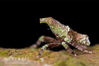 Planthopper (Fulgoromorpha) - DSC_3589